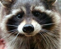 This Is The Real Life ROCKET RACCOON From GUARDIANS OF THE GALAXY
